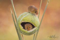 Harvest mice by Kutub Uddin on 500px