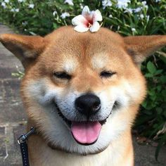 Shiba Inu Berry loves to be beautiful! Cute Baby Animals, Animals And Pets, Funny Animals, Cute Puppies, Cute Dogs, Dogs And Puppies, Corgi Puppies, Sweet Dogs, Cute Creatures