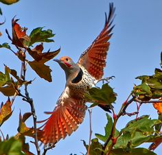 Northern flickers are one of the most beautiful and widespread woodpeckers in North America, as evidenced by Jay Spring's colorful flying photo from Irvine, California Beautiful Birds, Animals Beautiful, Northern Flicker, Pretty Animals, Interactive Art, Ocean Creatures, Backyard Birds, Exotic Birds, Bird Species