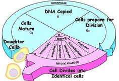 Cell Cycle: The History of a Cell | Biology Exams 4 U