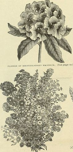 """Annual wholesale offers of native North American ornamental plants - especially the hardy trees, flowering shrubs, herbaceous perennials, vines, ferns, orchids, etc., of the southern Alleghany (19362193532) - Search results for """"perennial illustration"""" - Wikimedia Commons"""