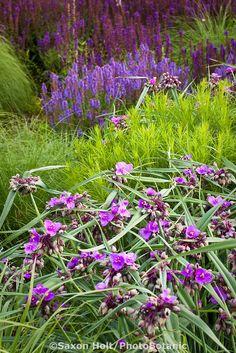 Purple flower perennial Spiderwort,Tradescantia 'Concord Grape' in Lurie Garden Millenium Park, Chicago