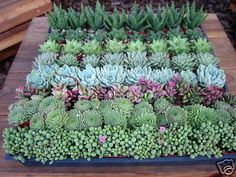 You will receive 64 assorted/mix individual succulent plants similar to the pictures. You'll receive at least 8 or more varieties on these succulents. Succulent Frame, Succulent Bonsai, Propagating Succulents, Succulent Gardening, Types Of Succulents, Cacti And Succulents, Planting Succulents, Planting Flowers, Garden Trees