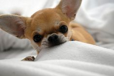"CHIHUAHUA DOGS This is called ""sheet nibbling"". My dog Walter rest his soul used to do it. Teacup Chihuahua, Chihuahua Puppies, Cute Puppies, Cute Dogs, Dog Breeds That Dont Shed, Baby Animals, Cute Animals, Mundo Animal, Little Dogs"