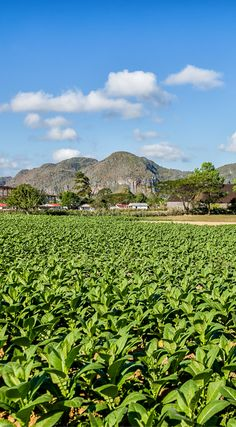 Endless tobacco fields in Viñales, Cuba. The photo was taken By Lina Stock on the Divergent Travelers Photography Tour in Cuba. The Divergent Travelers Adventure Travel blog showcases great stories and some of the best travel photography in the world. We run photography tours not just in Cuba but throughout the world. Click to see more about Cuba http://www.divergenttravelers.com/horseback-riding-vinales-valley-cuba/