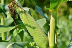 Ak ste skúsený záhradkár, môžno už poznáte svoje triky ako mať zdravú a bohatú úrodu. Toto je zbierka tých najlepších, s ktorými je záhradkárčenie skutočne radosť!1. Zasaďte kukuricu do uhoriekAk zasadíte kukuricu na hriadkach s … Full Sun Plants, Sun Loving Plants, Nairobi, Growing Squash, Small Front Gardens, Corn Plant, Liquid Fertilizer
