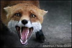 Taxidermy Fox, Pet Dogs, Pets, Fox Head, Little Fox, Cute Fox, Red Fox, Foxes, Clever