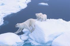 Step to it: These two polar bear cubs get ready to follow in their mother's footsteps and ...