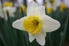 Daffodil vs Jonquil – Identification | Walter Reeves: The Georgia ...