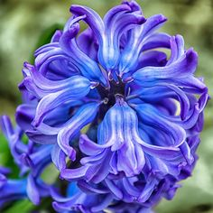 Blue hyacinth.  I LOVE the smell of these flowers.