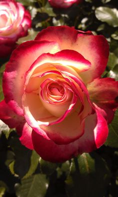 Cherry Parfait Rose at A View to Remember www.1bbweb.com/canada/british_columbia/thompson_okanagan/kelowna/a_view_to_remember.html