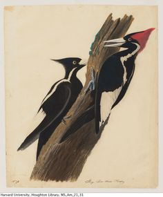 Find out more about our fully digitized collection of 114 early John James Audubon drawings (including the ivory-billed woodpeckers above) in this article from the Harvard Gazette. MS Am 21 (31)