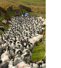 Black-faced Sheep on an Irish road, Country Antrim, Northern Ireland ~ by Chris Hill Londonderry, Black Faced Sheep, Irish Eyes Are Smiling, Erin Go Bragh, Irish Blessing, Thinking Day, Emerald Isle, Ireland Travel, Ireland Vacation
