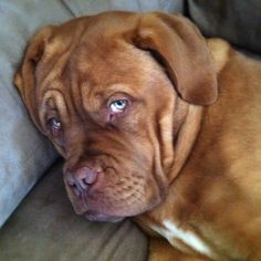 My baby French Mastiff