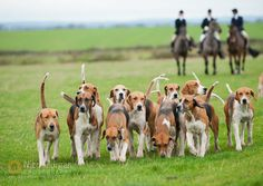 Image: The Belvoir Hunt's Old English foxhounds. English Foxhound, American Foxhound, Fox Hunting, The Fox And The Hound, Dog Runs, Puppy Pictures, Old English, Animal Kingdom, Best Dogs