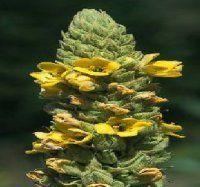 Verbascum thapsus (Wooly Mullein)