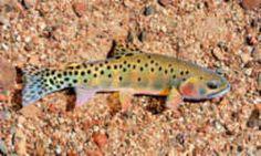 New Mexico State Fish - Rio Grande Cuttthroat Trout