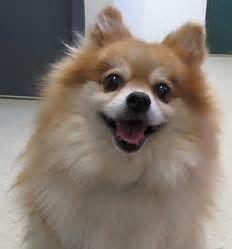 Image Result For Full Grown Pomeranian Dog Dogs Pomeranian