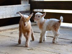 Dwarf Nigerian Goat Kids - The Definition of Adorable