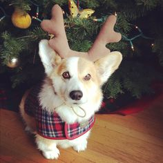 The Daily Corgi: It's Christmastime: Corgi On!