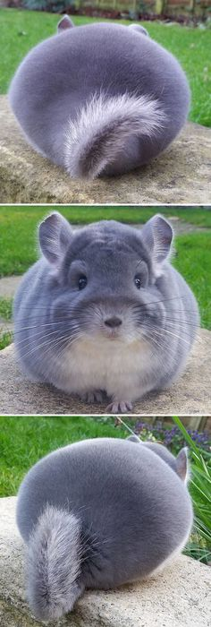 10+ Animals That Are So Round They'll Roll Straight Into Your Heart / Chinchillas