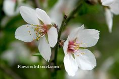 Common Almond Flowering Period:  January, February, March