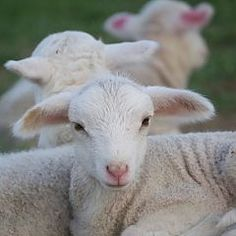 Almost time for lambs at Juniper Moon Farm in Virginia! Their lamb cam is real treat!