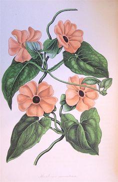 Black Eyed Susan Vine, Thunbergia alata aurantiaca, circa 1839
