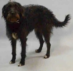 My Name is BOY. I am described as Male, Black & White Miniature Poodle and Miniature Schnauzer. The shelter thinks I am about 1 year old. I have been at the shelter since August 16, 2016.  Pet WebLink:   Animal Care Centers of NYC - Brooklyn  2336 Linden Blvd.  Brooklyn, NY  https://www.facebook.com/OPCA.Shelter.Network.Alliance/photos/a.839289472818753.1073741941.481296865284684/110936233581