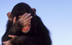 Image Detail for - This View of Life: Apes Enjoy Slapstick Humor