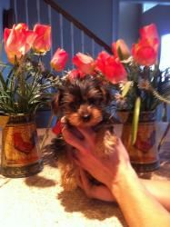 Quincey is an adoptable Yorkshire Terrier Yorkie Dog in Lonedell, MO. This adorable little puppy is one of our rescue groups FUND RAISER puppies. This puppys higher adoption fee will help us to help s...