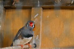 and one with nosy Zebra Finch male :)
