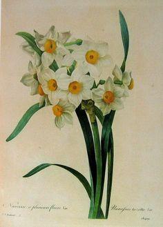 Old botanical print daffodils