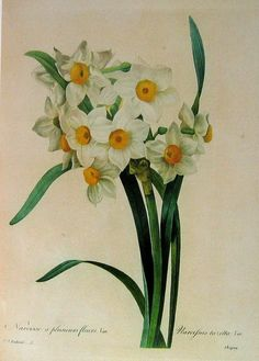 White Narcissus  1979 Vintage Botanical Book by mysunshinevintage
