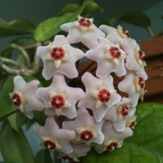 Hoya. indirect sun, water weekly or when dry, like to be pot bound and not moved.  Always bloom from the same spur.  Most are very easy to grow!!