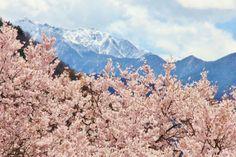 薄紅色の花が咲き誇る日本三大桜名所!高遠城址公園。お花見の際のポイントは | 長野県 | [たびねす] by Travel.jp