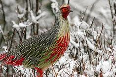 The Blood Pheasant.