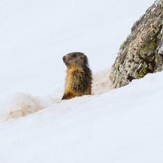 Marmottes | Marmots: http://tazintosh.com #FocusedOn #Photo #Canon EF 100-400mm f/4.5-5.6L IS USM #Canon EOS 7D #Marmotte #Marmota marmota #Marmot #Neige #Snow #Rocher #Rock