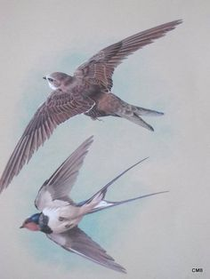 VINTAGE 1965 PRINT - BASIL EDE - THE SWALLOW AND THE SWIFT  | eBay