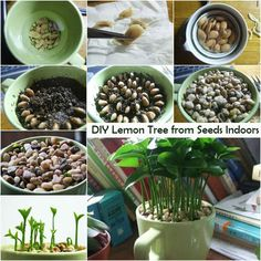 DIY Lemon Tree from Seeds Indoors | I Luv DIY