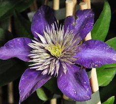 ClematisMultiBlueflower