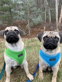Puppia Orange Soft H Pugs And Luvs Dogs Pug Rescue Cute Pugs