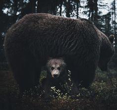 """2,320 kedvelés, 73 hozzászólás – Stian Norum Herlofsen (@stiannorum) Instagram-hozzászólása: """"When you are where wild bears live you learn to pay attention to the rhythm of the land and…"""""""
