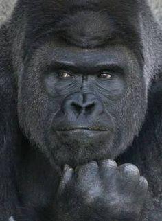 攻守ともに最強の動物はゴリラ:ハムスター速報