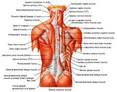 Anatomie: buikwand,rug,rugspier,buikspier,musculus obliquus,musculus transversus,musculus rectus,Poupart,ligamentum inguinalis,lattisimus dorsi,a. epigastrica,serratus anterior,trapezius,gluteus,teres major,teres minor,rhomboideus,supraspinatus,infraspinatus,levetor scapulae
