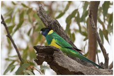 Australian Parrots, Small Insects, Alice Springs, Parakeets, Cockatoo, Bird Species, Darwin, Beautiful Birds, Lincoln