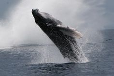 The 40-tonne humpback whale stunned tourists with its acrobatics