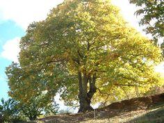 Su nombre científico es Castanea sativa. Árbol corpulento de hoja caduca, puede alcanzar hasta 30 metros.En los cultivados el tronco es grueso y corto, en los silvestres es más esbelto y menos ramificado.