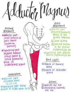 Muscular Anatomy 101 // A Full Set of Drawn Muscles with Attachments, Innervations, Blood Supplies, and Actions! Human Body Anatomy, Human Anatomy And Physiology, Muscle Anatomy, Muscular System Anatomy, Physical Therapy School, Physical Education, Medicine Student, Medical Anatomy, Anatomy Study