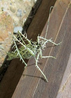 The amazing camouflage of the lichen katydid!